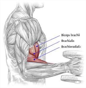 brachialis-brachioradialis-muscles