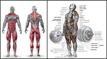 dead-lift-muscle-anatomy